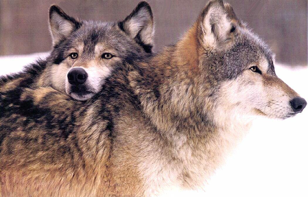 Wolf Head on Wolf